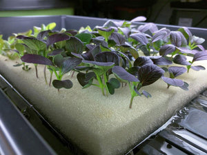 Vegetables growing in hydroponic grow cubes