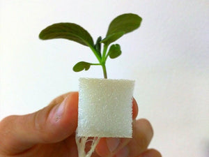 Young plant and roots in a hydroponic grow cube