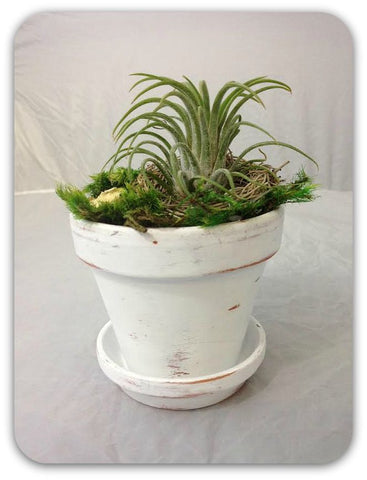 "Fancy Plants ""Distressed White Flower Pot"" Living Air Plant in Decorative Hand Painted Mini Pot"