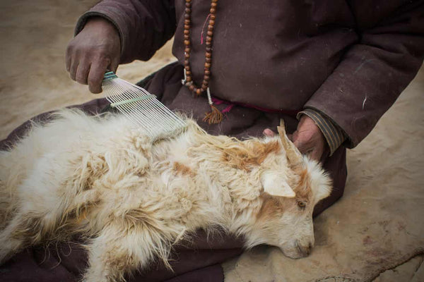 Brushing the wool from cashmere goat, The Little Tibet blog