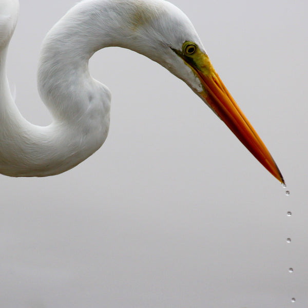 Great White Egret - Drops