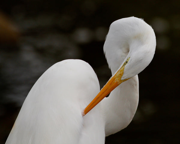 Great White Egret - Loop 3