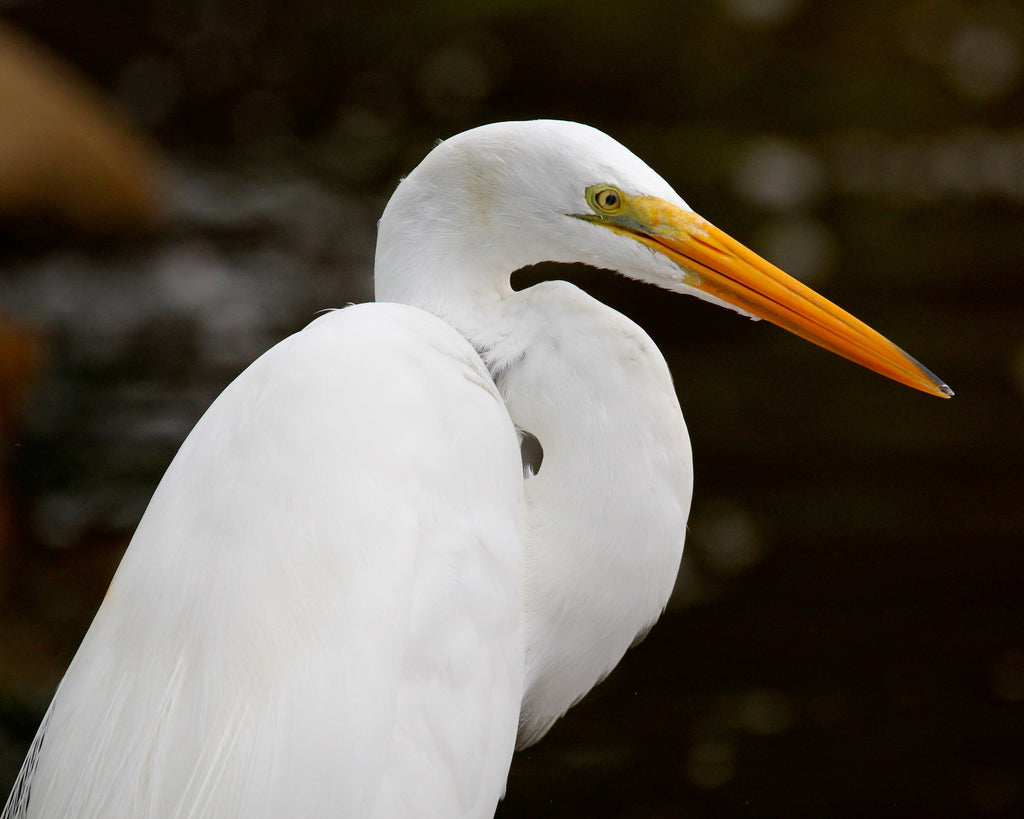 Great White Egret - Perfect S