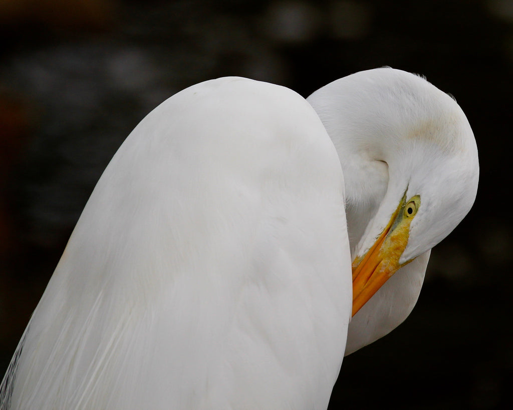 Great White Egret - Under the White Wing