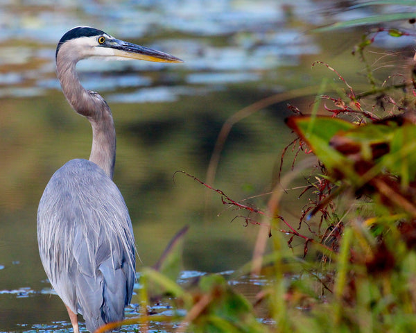 Great Blue Heron - Blue & Fall