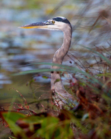 Great Blue Heron - Blue & Red