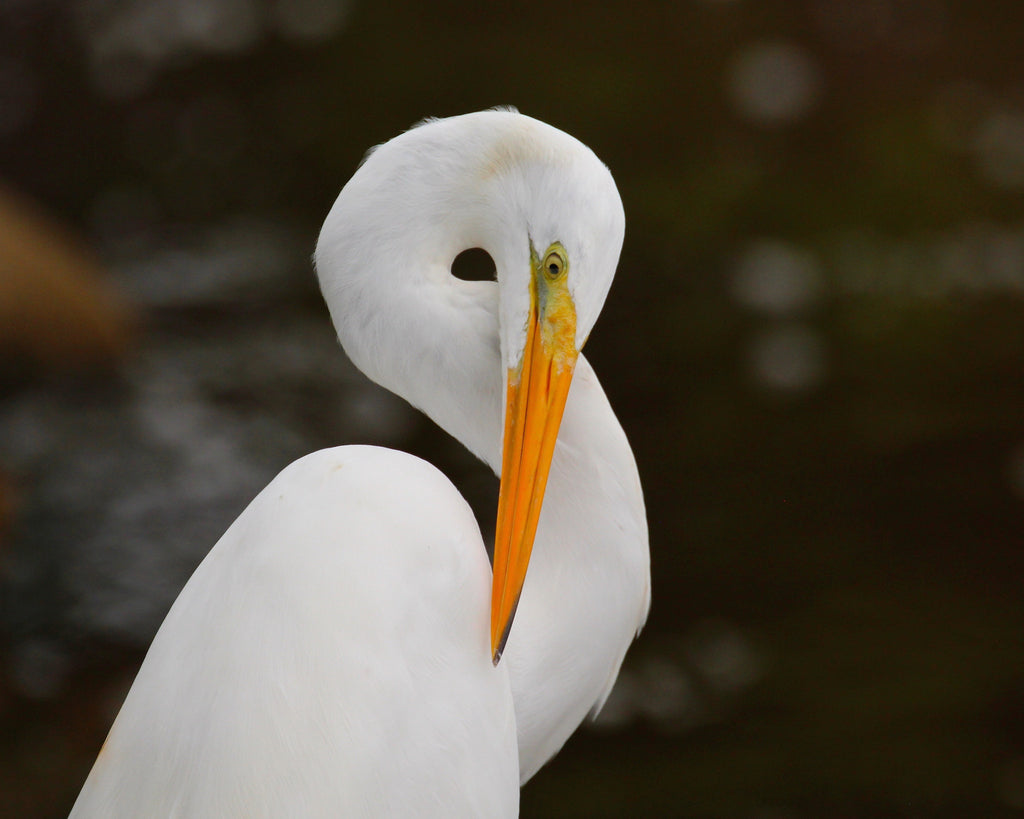 Great White Egret - Loop 1