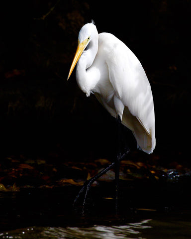 Great White Egret - Alba's Crest