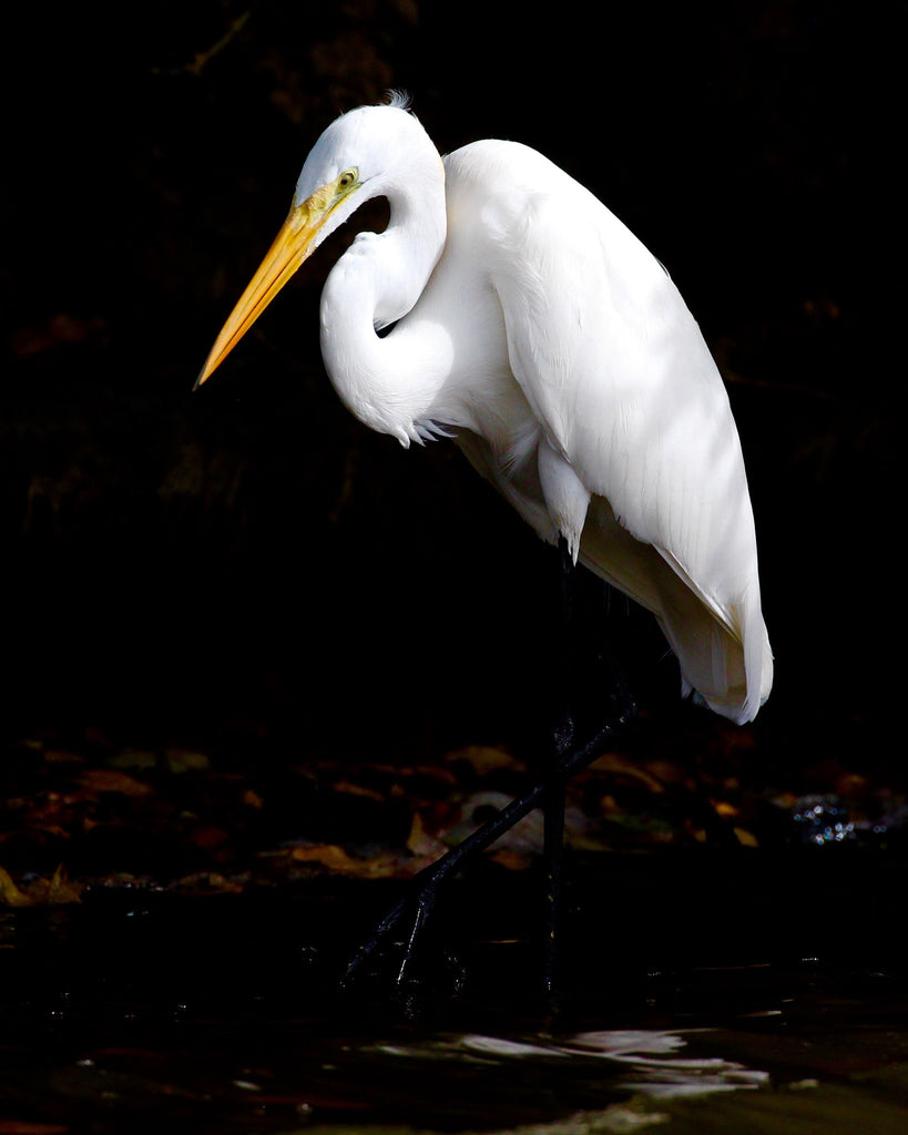 Great White Egret - Alba's Focus