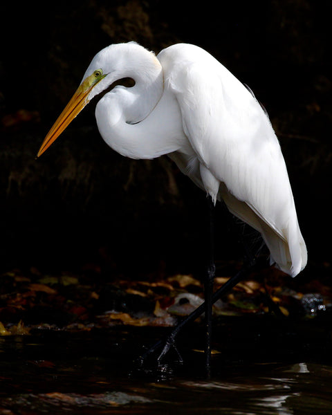 Great White Egret - Alba's Profile