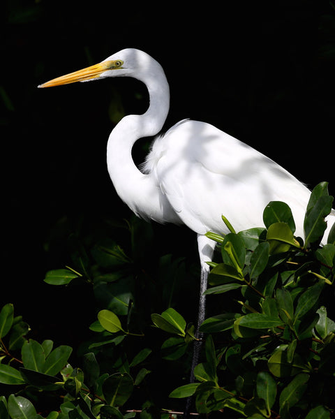 Great White Egret - Alba in the Mangroves