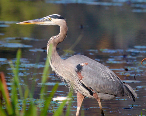 Great Blue Heron - In the Reeds
