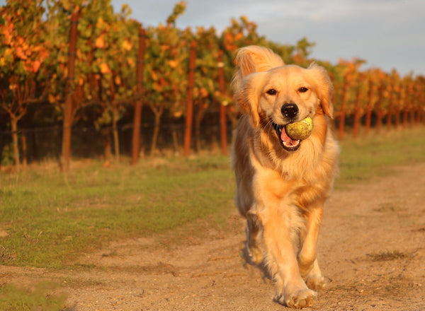 K9s, Vines and Wine Walk | Aug. 20th
