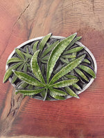 Mary Jane Belt Buckle