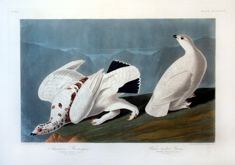 Plate 418 - American Ptarmigan, White-tailed Grouse