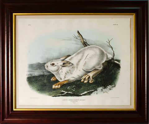 Northern Hare (Winter)