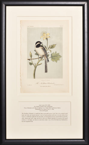 Northern Chickadee