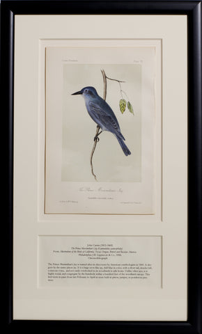 The Prince Maximilian's Jay