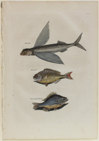 Matted-Flying Fish