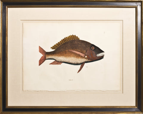 Framed-Mutton Fish