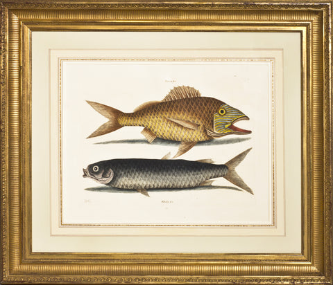 Framed-The Grunt & Mullet Fish