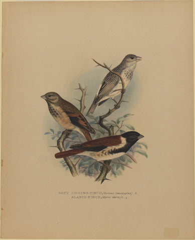 Grey Singing-Finch and Alario Finch