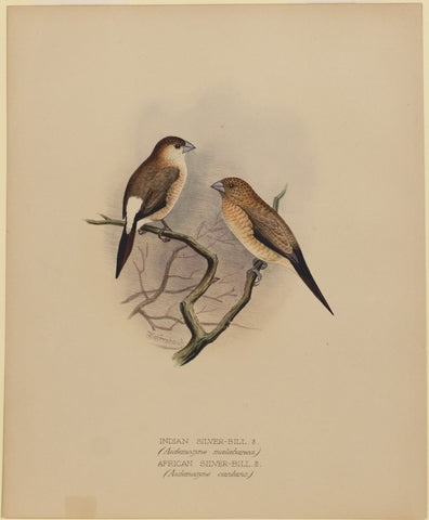 Indian Silver-Bill and African Silver-Bill