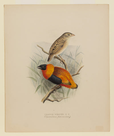 Frohawk's Orange Weaver