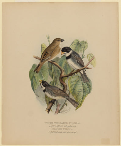 White Throated Finch and Bluish Finch