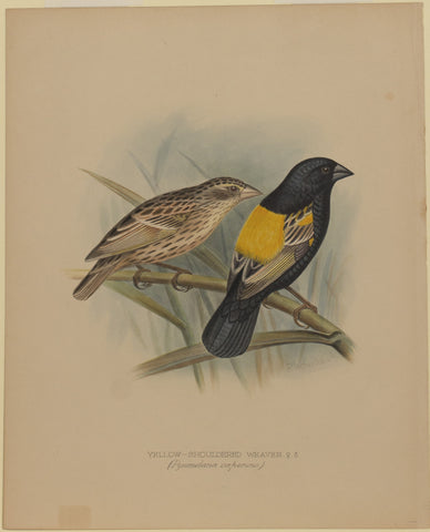 Yellow-Shouldered Weaver