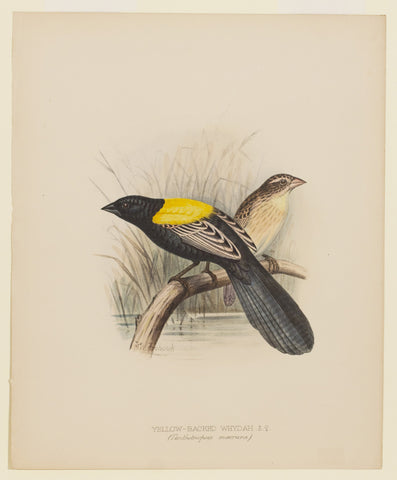Yellow-Backed Whydah