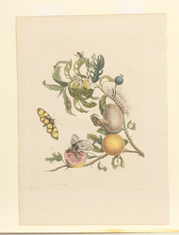 Guava with Spotted Amberwig