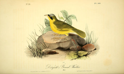 Delafield's Ground Warbler