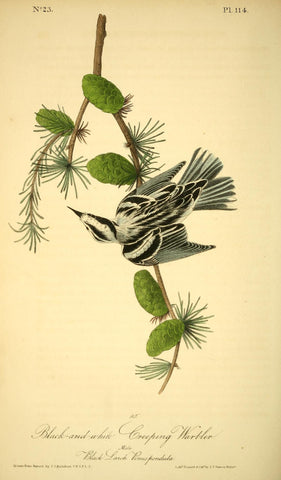 Black-and-White Creeping Warbler