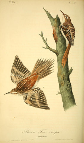 Brown Tree-Creeper