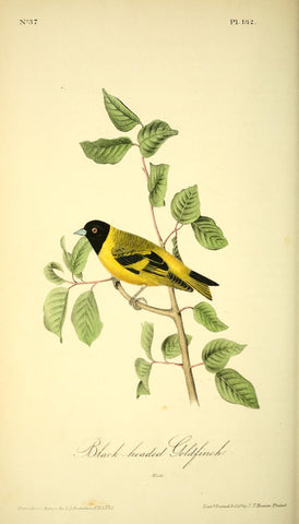 Black-Headed Goldfinch