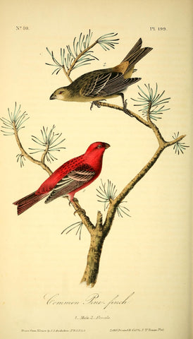 Common Pine Finch