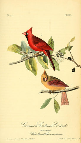 Common Cardinal Grosbeak