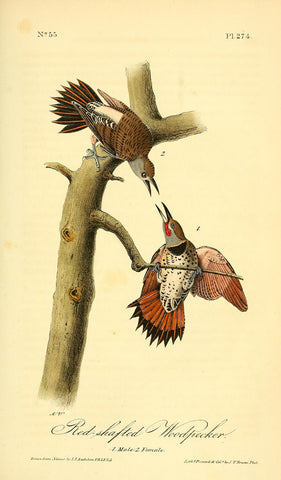 Red-Shafted Woodpecker