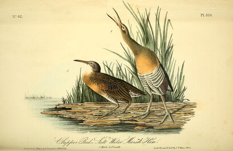 Chapper Rail or Salt Water Marsh Hen