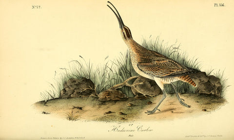 Hudsonian Curlew