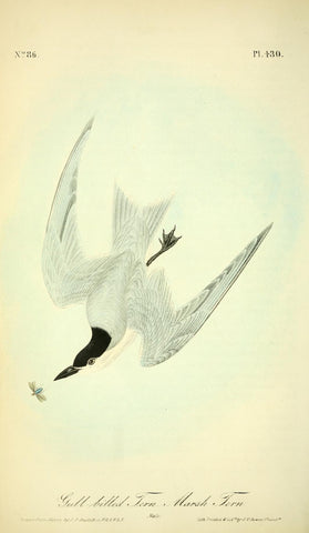 Gull-Billed Tern or Marsh Tern