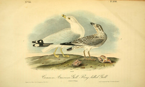 Common American Gull