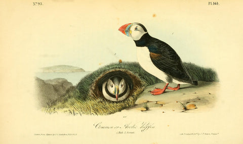 Common or Arctic Puffin