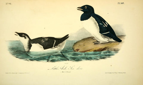 Little Auk - Sea Dove