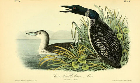 Great North Diver Loon