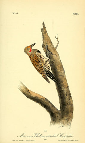 Missouri Red-Mustached Woodpecker