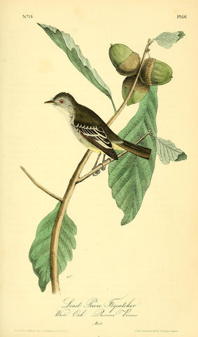 Least Pewee Flycatcher