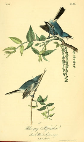 Blue-grey Flycatcher