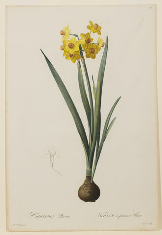 Narcissus Lazetta (Yellow Multi-flowered Narcissus)